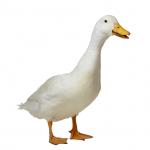 Корм для уток и гусей