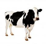 Корм для коров и телят