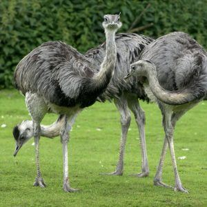 страусы взрослые