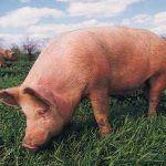 комбикорм СК-8 для откорма свиней до жирных кондиций от производителя ОАО «Истра-хлебопродукт»
